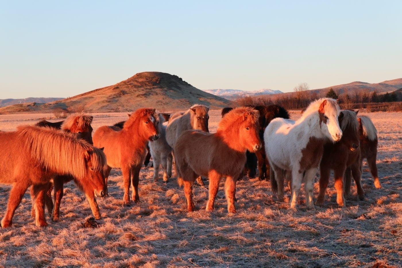 Horses in Kjarr
