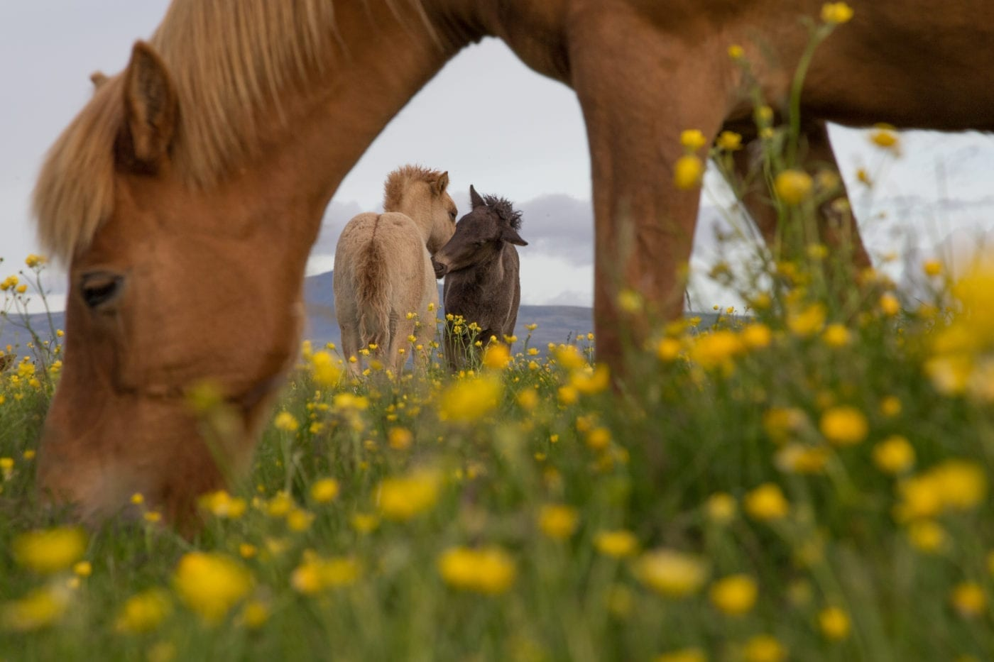 Foals on the fields in Kjarr