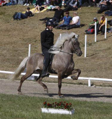 Bláskjár frá Kjarri icelandic horse stallion tölt