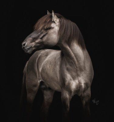 Fálki frá Kjarri icelandic stallion