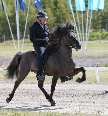 Stáli frá Kjarri honour prize stallion tölt